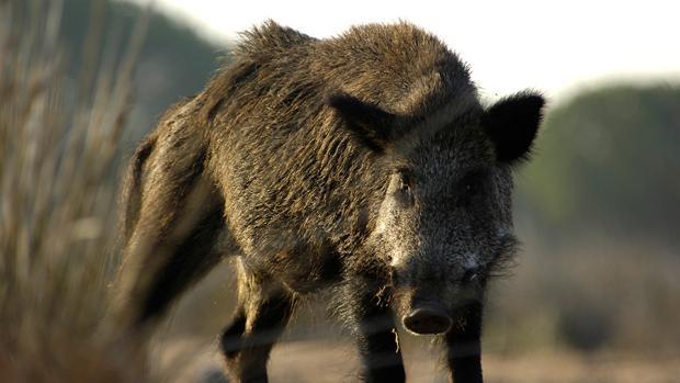 El jabalí es una de las especies que producen más daños en la agricultura, según la COAG de Jaén