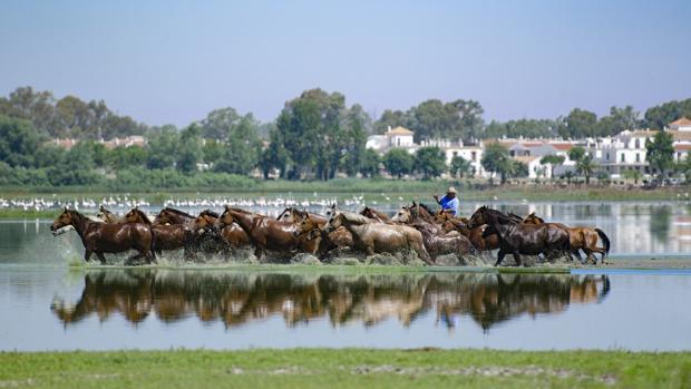 Las labores ganaderas representadas hoy en la Saca de las Yeguas, es uno de los usos tradicionales de Doñana que se remontan siglos atrás
