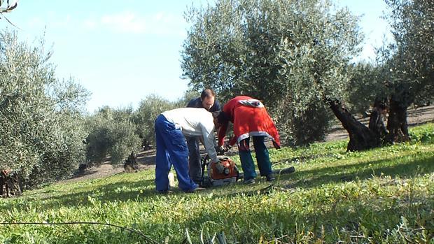 Trabajadores en la recogida de la aceituna en una explotación de Córdoba
