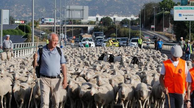 Los pastores de Las Albaidas, a su paso por Córdoba, para buscar el paso hacia el Cordel de Écija