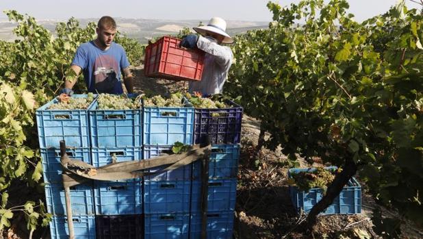 Recolección de la uva en el marco Montilla-Moriles, el pasado agosto