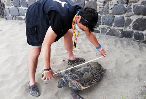 Medición a una tortuga boba varada en la arena.
