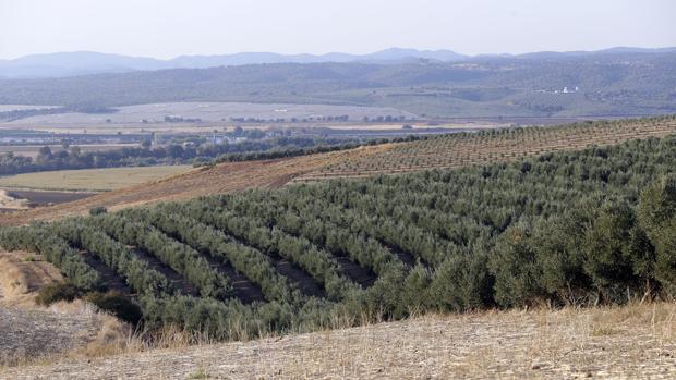 Tierras de olivar en la provincia de Córdoba