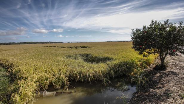 El cultivo del arroz está protegido durante tres años por la cláusula de salvaguardia