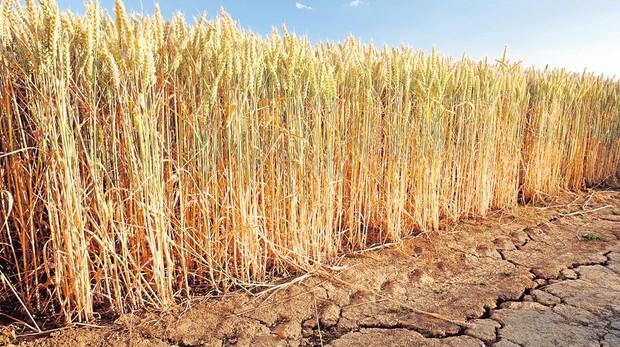 Plantación de cereales