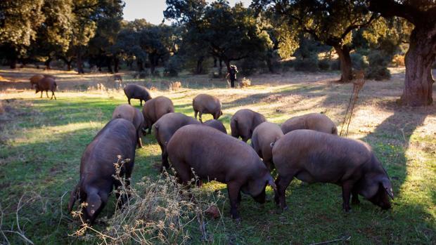 Piara de cerdos se alimenta de bellotas en la montanera