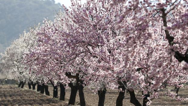 Campo de melocotoneros en flor