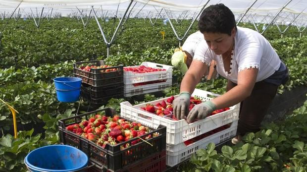 Recolección de fresas en una explotación onubense