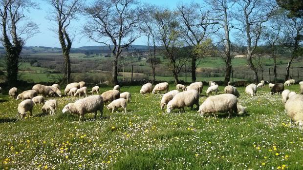 Un rebaño de ovejas pasta en una finca acotada por árboles