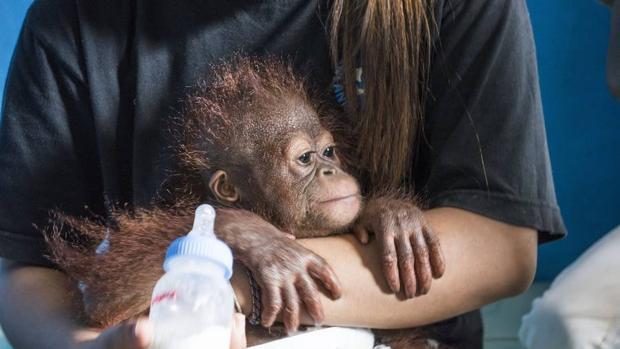 Los orangutanes no estén aumentando un 10%, como asegura el Gobierno indonesio