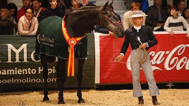 El jinete loreño y presentador de caballos David Marín Risco, durante una prueba en el pasado Sicab