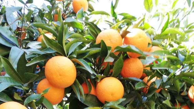 Lora del Río dedica más de 3.000 hectareas a la producción de naranjas