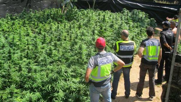 Imagen de archivo de una plantación de marihuana intervenida por la Policía en la provincia