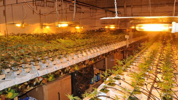 Plantación de marihuana indoor (Archivo)