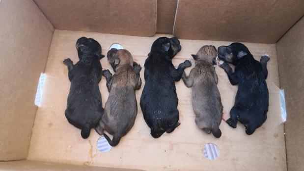 Los cinco ejemplares de cachorros de perros abandonados que han sido rescatados por la Policía Local de Alcalá