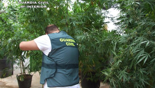 Un agente de la Guardia Civil coge una de las 18 plantas intervenidas