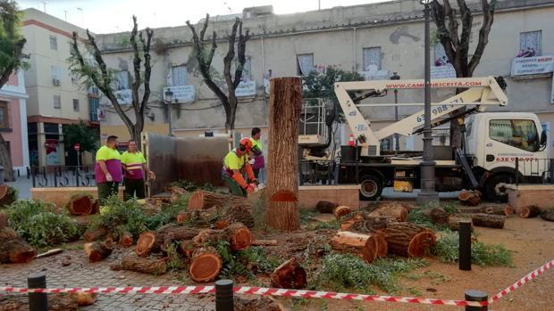 Operarios de la delegación de Parques y Jardines talan árboles en la plaza del Pumarejo de Sevilla